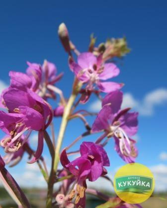Цветы и бутоны Иван-чая в Кукуйке