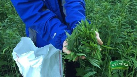 Собираем листья Иван-чая