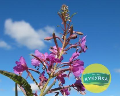Цветы Иван-чая в Кукуйке