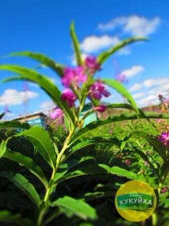 Иван-чай фото в деревне Кукуйка