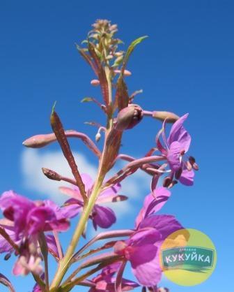 Цветы и бутоны Иван-чая фото