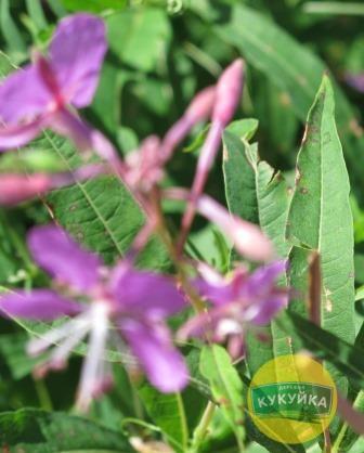 Иван-чай цветы и листья растения