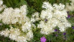 Какими полезными свойствами обладает растение лабазник?