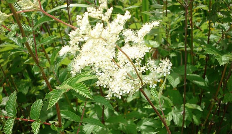 Таволга вязолистная: полная информация о лекарственном растении